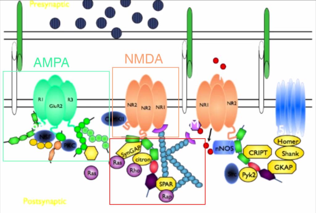 nmda-and-ampa-receptors